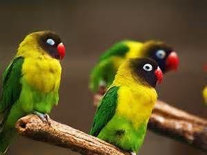 lovebirds - Bing Images