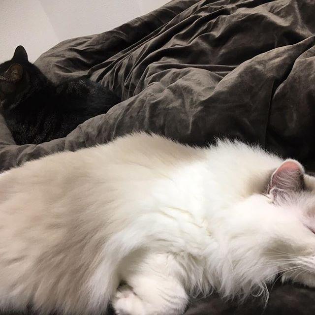 ベッドでくつろいでるビビ様とバロンくん可愛すぎるな???🤔 #ねこすたぐらむ #ねこ部 #ねこ #ラグドール #にゃんこ部 #ニャンスタグラム #猫 #愛猫