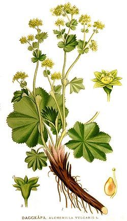 Alchemilla vulgaris has more teeth on the leaf than Achemilla mollis. We want vulgaris as the medicinal plant