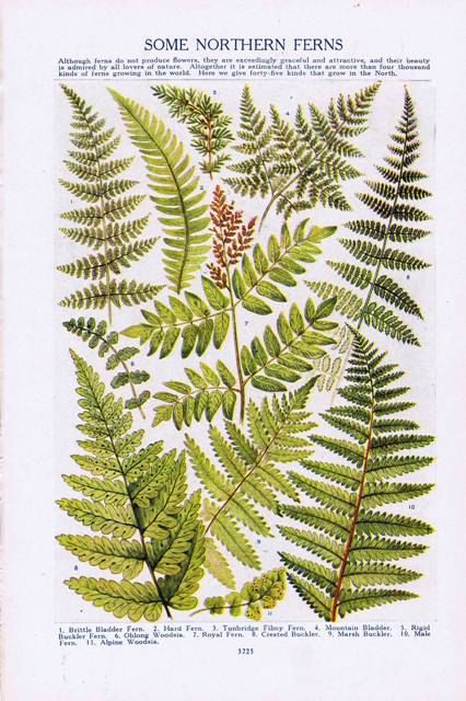 Antique Vintage Northern Ferns Color Natural History Print 1920s. $9.00, via Etsy.