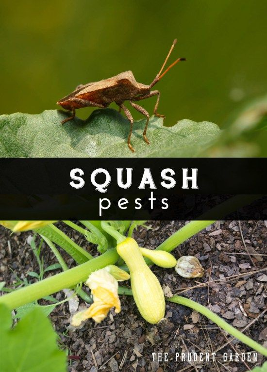 How to get rid of squash pests hometalk gardening - How to get rid of bugs in garden ...