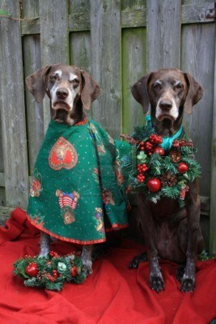 Two german shorthaired pointers dressed for christmas Puppy #Holiday #Dogs
