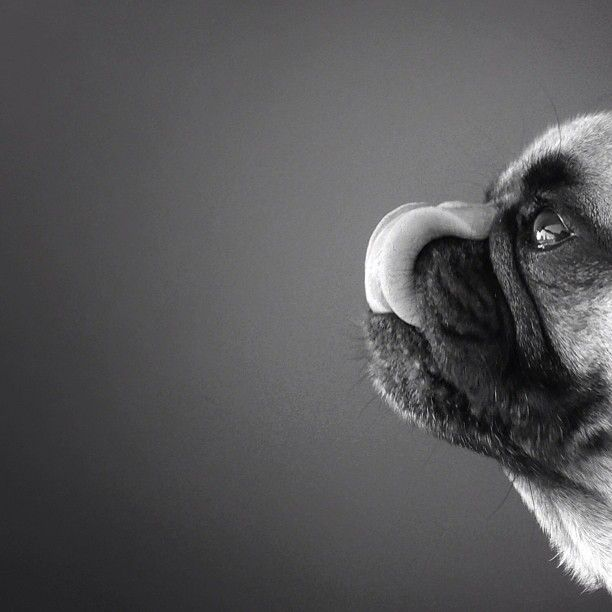 Best Norm The Pug Jeremy His Owner Images On Pinterest Pugs - Captivating black and white animal portraits by antti viitala