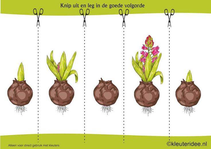 Logische volgorde Hyacint