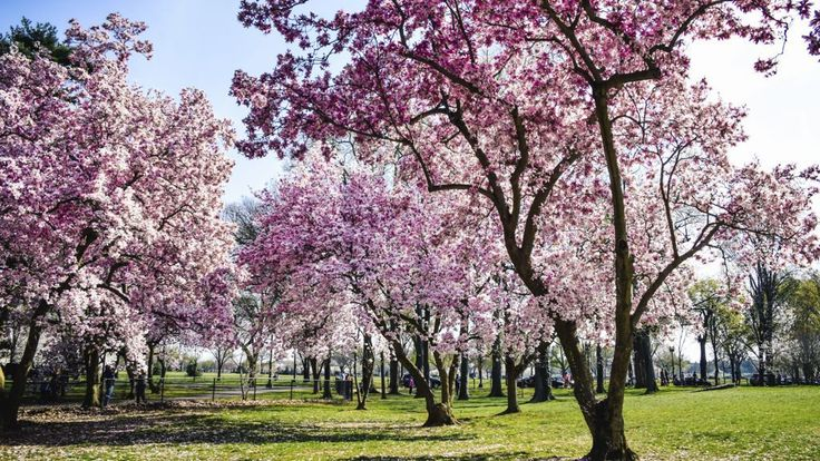 Expected peak bloom between March 31-April 3rd in 2016! The National Cherry Blossom Festival runs from March 20 to April 17.
