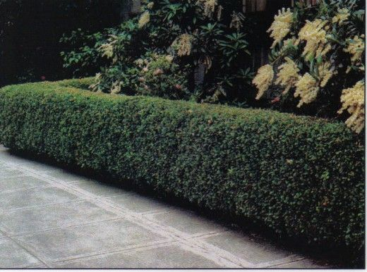 Peking Cotoneaster hedge beautifully trimmed
