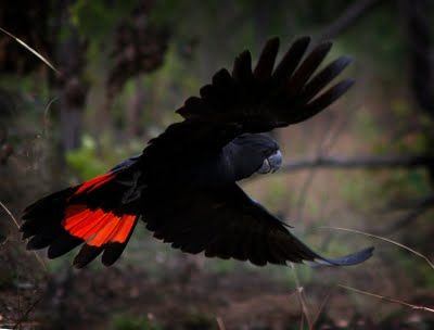 Red-tailed Black Cockatoo (Calyptorhynchus banksii)  Images by Christine Walsh: 2009-09-06