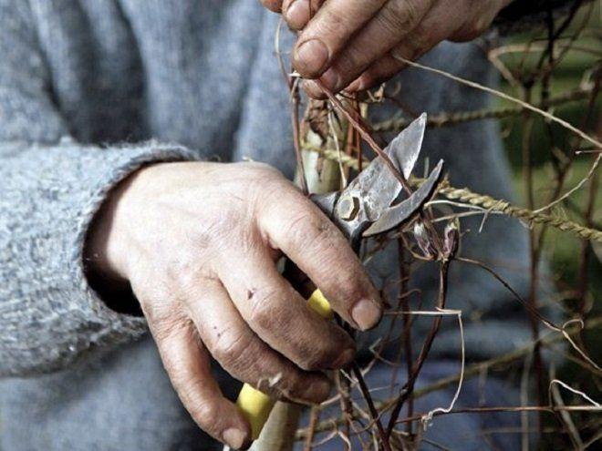 Клематисы нужно обрезать в конце октября или начале ноября (в зависимости от региона), а заниматься этим лучше в сухую погоду