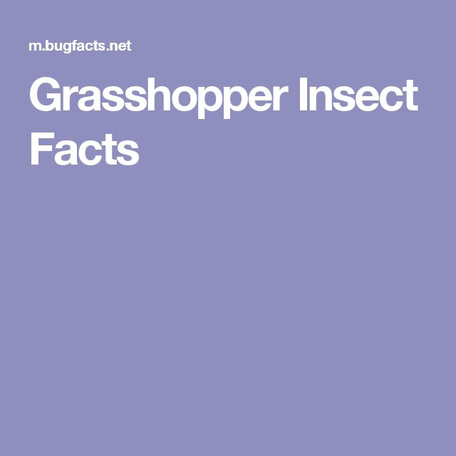 Grasshopper Insect Facts