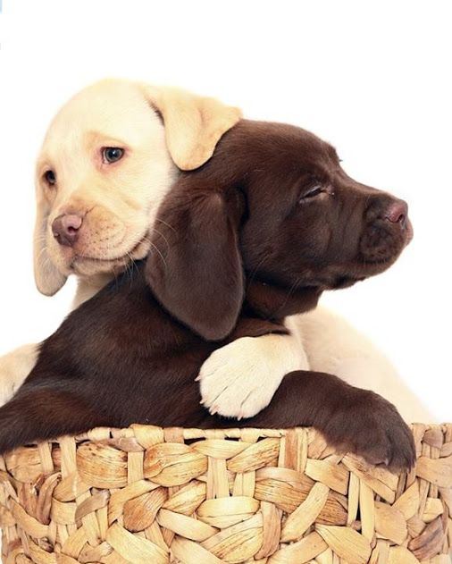 Brown and Yellow Lab Puppies