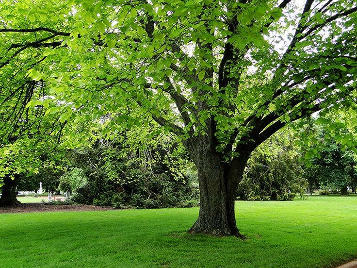 Elm Tree, Ballarat Botanic Gardens, Victoria, Australia