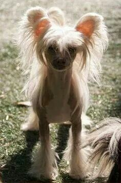 Chinese crested powder puff puppy dog hairless
