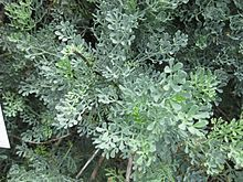 Simple For you theres rosemary and rue these keep Seeming and savour all the winter long Essbaren GartenHom opathieLitauenHeckenMehrj hrigEinige