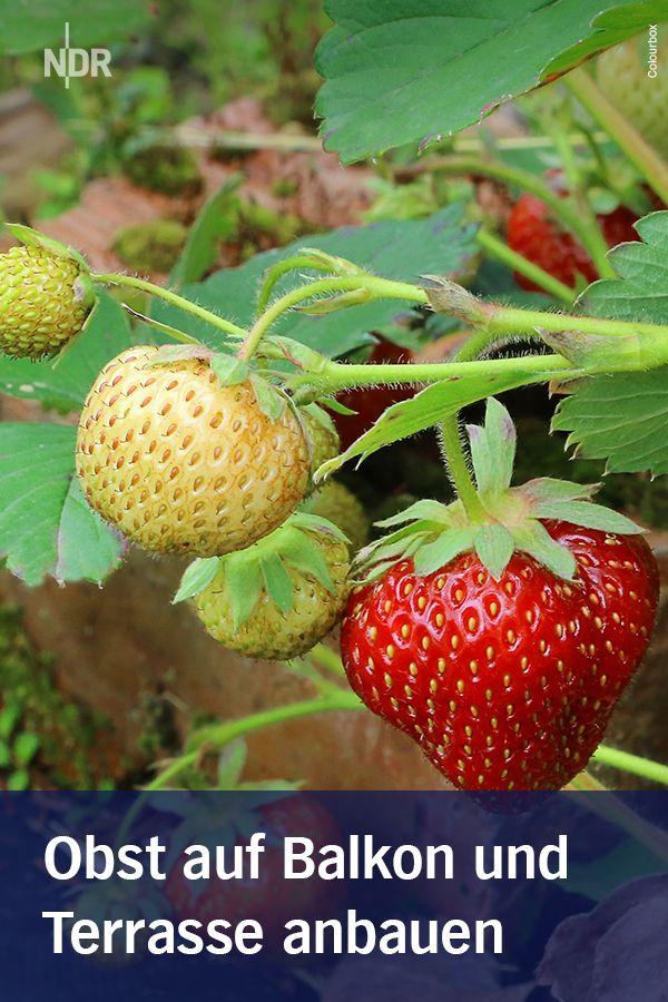 Obst Auf Balkon Und Terrasse Anbauen Obst Gartenpflanzen Pflanzen