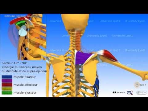 Exemple de cours Anatomie 3D myologie :élévation latérale du bras dans la plan de la scapula