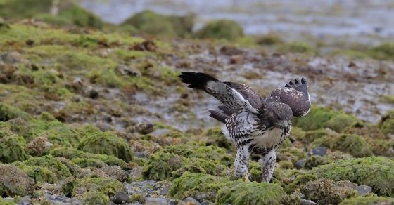 A red-tailed hawk chick being raised by a family of bald eagles in Sidney has become so famous he's been given nicknames by birders.   The chick has been called Stephen Hawking, after the noted. . .Still beating the odds!!!