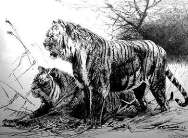 Caspian Tiger Facts: The Caspian Tiger (public domain)