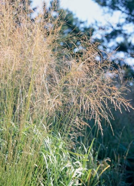 Best ornamental grasses for midwest gardens grasses for Ornamental grass ideas