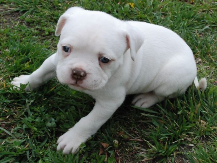 #American #Bulldog...can he get any cuter.