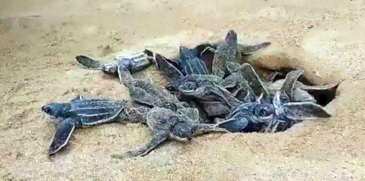 Medio Ambiente aplica proyecto reproducción tortugas tinglar en provincia La Altagracia