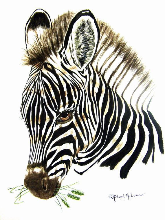 Portrait of a young zebra. A 11 x 14 inch original watercolor painting $75.00