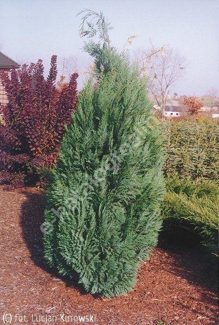 cyprysik Lawsona 'Alumii' - Chamaecyparis lawsoniana 'Alumii' | Katalog roślin - e-katalog roślin