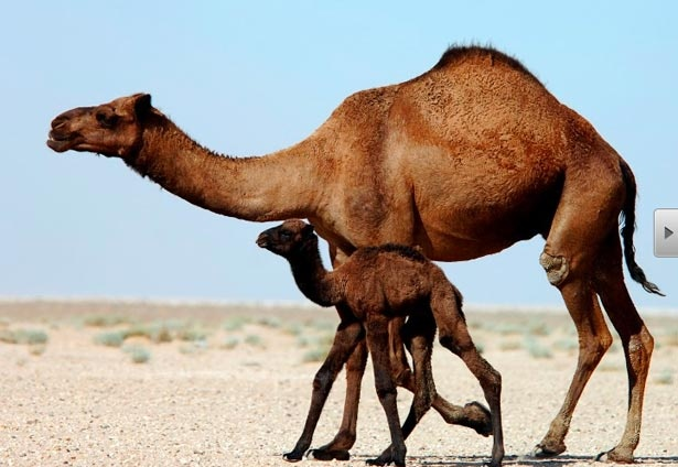 Two Camels in desert.