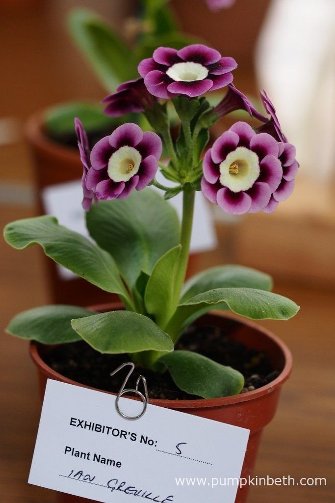 Carolyn Hammond came first in Class 41 with this super example of Primula auricula 'Ian Greville'.