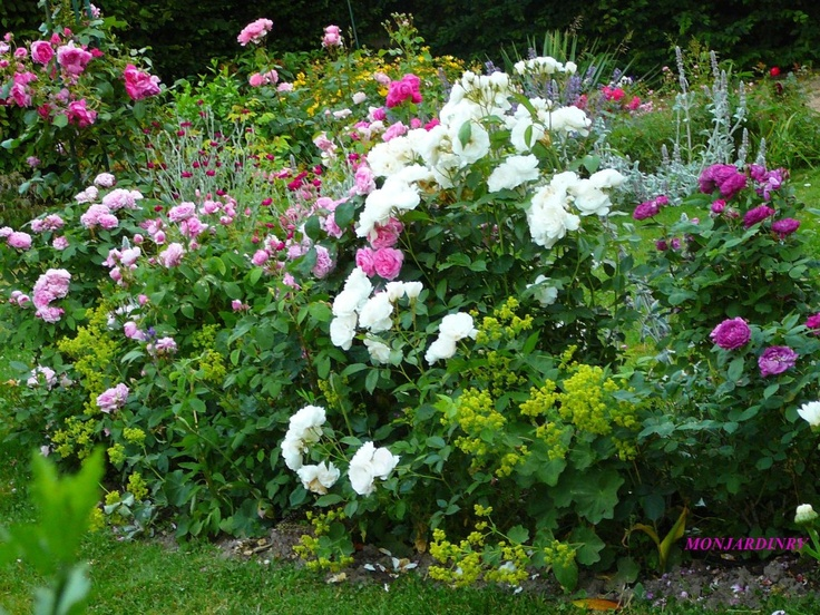 Ce massif est composé  avec les rosiers Mousseline , Comte de Chambord , Gertrude Jeckyl , Iceberg  , Reine des violettes