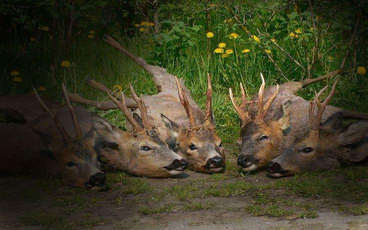 Rehbockjagd in Blumberg - Jagdreisen - K&K - Premium Jagd
