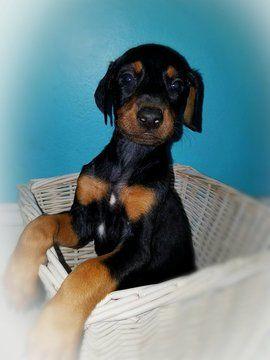 Doberman Pinscher puppy for sale in HAINES CITY, FL. ADN-39952 on PuppyFinder.com Gender: Female. Age: 6 Weeks Old