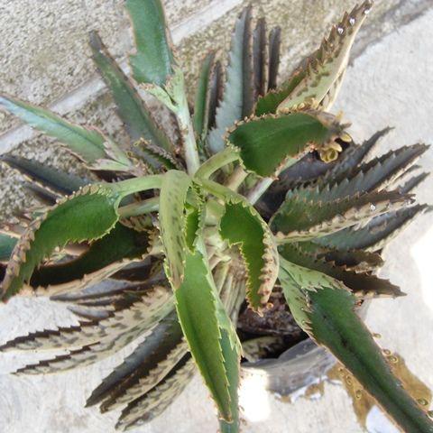 Kalanchoe X Houghtonni, Planta