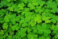 Celebrating St. Patrick's Day in the Montessori Classroom: Four Leaf Clovers, Fun Activities, Crafts Book, Schools Supplies, Montessori Classroom, Saint Patrick'S Day, St. Patrick'S Day, Celebrity St., Classroom Ideas