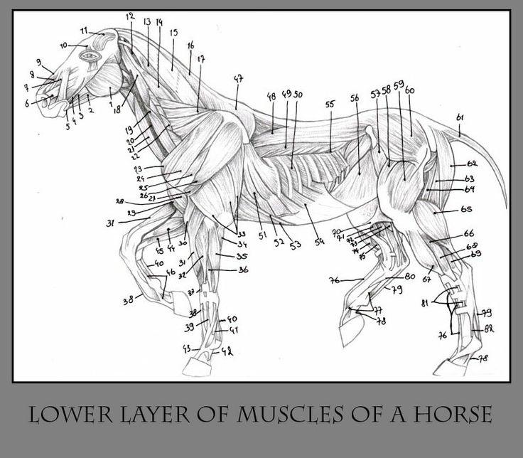 26 best Ideas images on Pinterest | Werewolf art, Horse anatomy ...