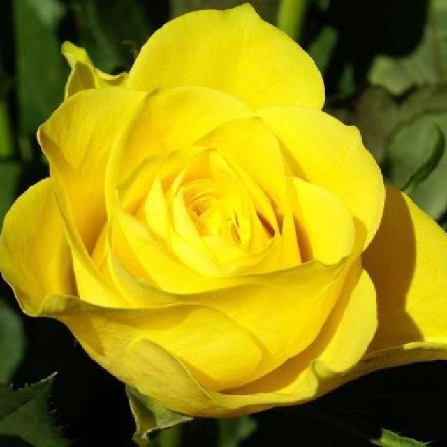 Yellow Tea Rose  Sigma Gamma Rho Sorority Inc  Hybrid