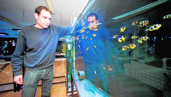 La sala de cría del acuario de la Universidad de Murcia, que ayer se inauguró  en el Cuartel de Artillería, es «una fascinantes conjunción de investigación, cultura y transferencia», en palabras del rector de la UMU, José Orihuela. La sala cuenta con tres sistemas que provienen del antiguo Laboratorio de Acuariología,.  http://www.laverdad.es/murcia/ciudad-murcia/201501/23/cria-peces-payaso-tiburones-20150123012324-v.html