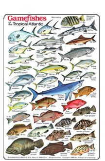 Hawaiian Fish ID Chart | Game Fish of the Tropical Atlantic Identification and Dive Slate,