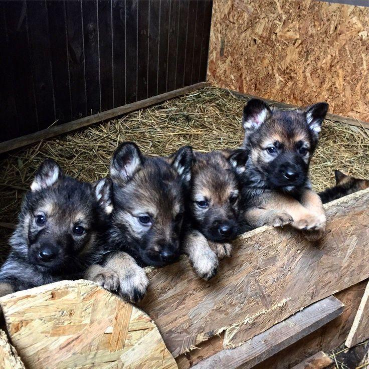 Рабочие немецкие овчарки и дрессировка собак