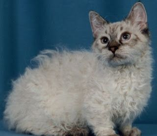 Here is long list of Beautiful Curly Haired Cat Breeds in the World, like Skookum, Selkirk Rex, LaPerm, Devon Rex, Cornish Rex, American Wirehair, German Rex