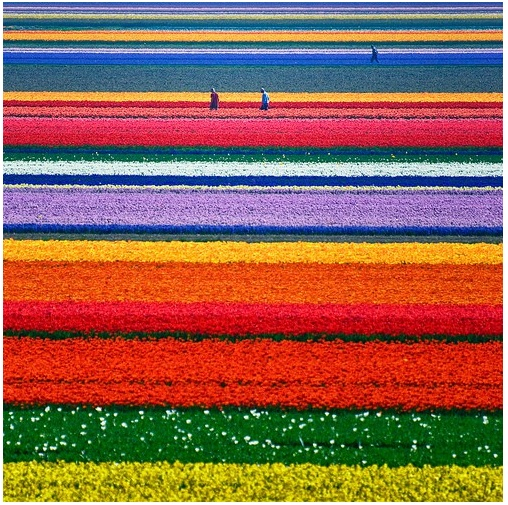 tulip fields in holland....amazing!