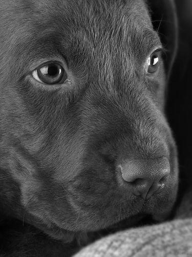 Aw. cute Lab puppy!