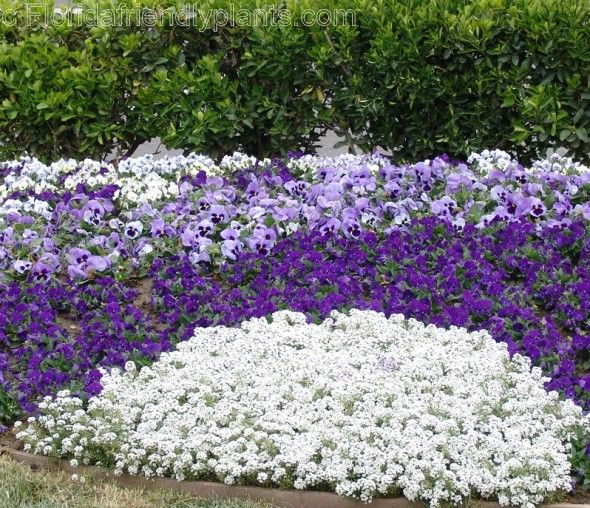 Alyssum is such a nice border plant, nice to put right next to the edge of the sidewalk or the edge of the grass.