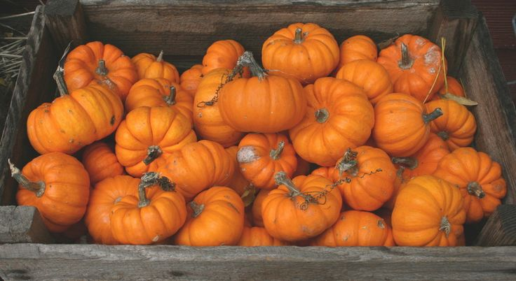 PUMPKIN FACTS! Read some cool information about pumpkins and find out some of their history!