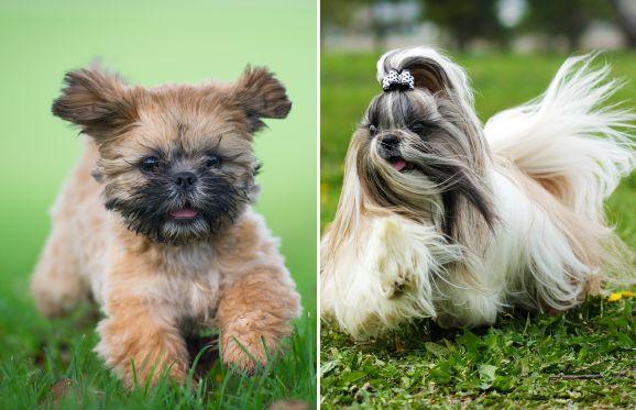 Shih Tzu Brighton Dog Photography Getty Images Garosha Getty