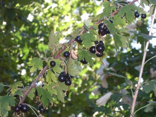 Смородина золотистая  Ягоды не кислые, поэтому могут входить в рацион больных язвенной болезнью желудка и 12-перстной кишки, которым не рекомендуется употребление ягод черной смородины, ввиду ее высокой кислотности. Из них получается превосходное варенье (соотношение ягод и сахара 1:1). Угостив им гостей, вы порядком их озадачите, т.к. аромат у него смородинного варенья, а вкус – черничного.