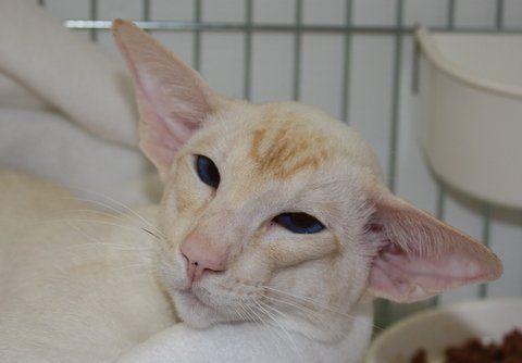 Siamese Cat: Siam Cat, Siamese Cats