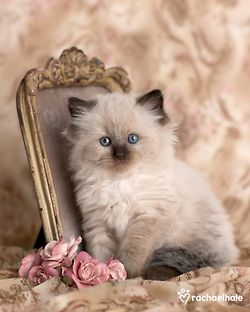 adorable himalayan kitten pictures ideas - most affectionate cat breeds