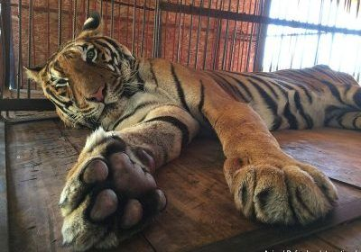Image result for Freedom for Hoover the tiger after life spent in circus cage