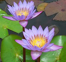 130 best flowers world national images on pinterest flowers water lily in thiruvananthapuram nymphaea nouchali wikipedia the free encyclopedia mightylinksfo Image collections