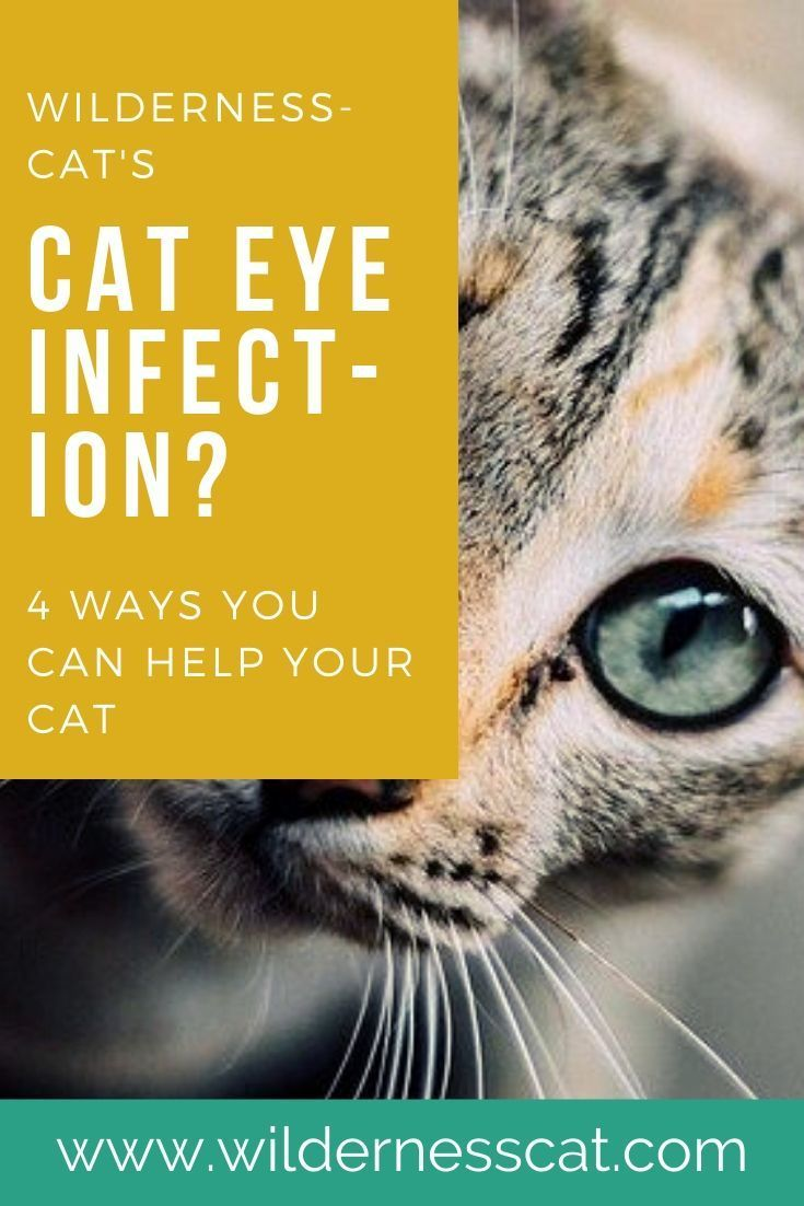 Home Remedies For Cat Eye Infection Wildernesscat In 2020 Cat Eye Infection Cat Illnesses Kitten Eyes